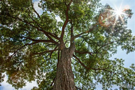 tree types types of nut trees images