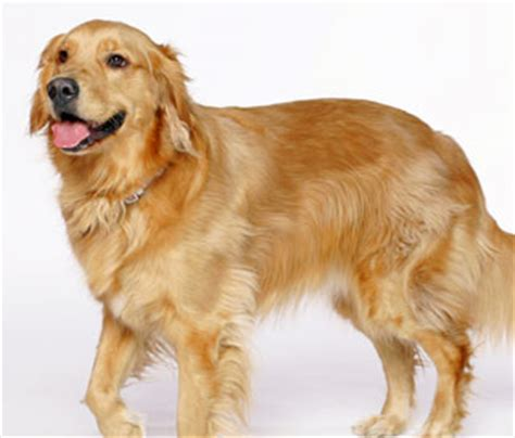 golden retriever varieties dogs puppies for sale pupcity