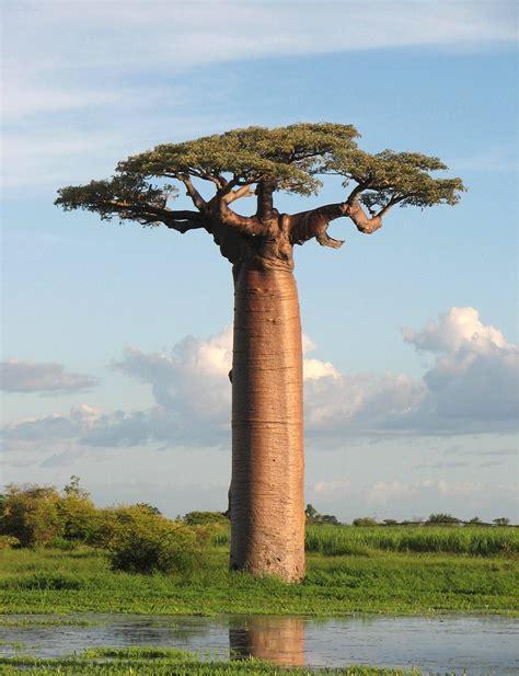 como era la tierra al principio de su formacion el espiritu de las plantas leyenda baobab