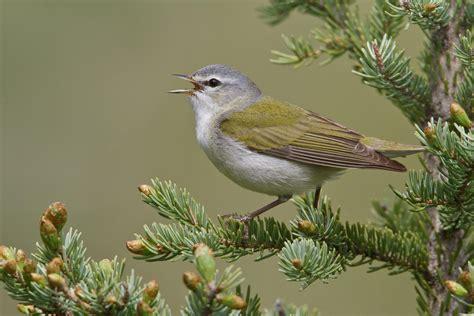 tennessee warbler audubon field guide