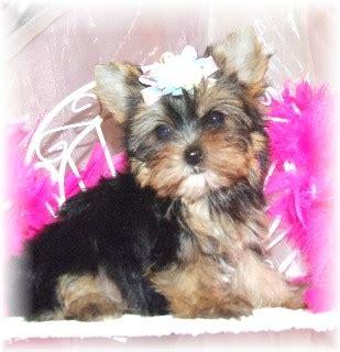 parti yorkie information yorkie puppy puppies for sale pups for sale breeder