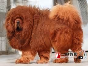 belgian shepherd 5 months majestic tibetan mastiff tibetan mastiff huge dogs and