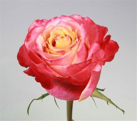 www rose new varieties archives virgin farms