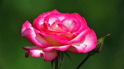 top 7 amazing pink and most beautiful pink roses hd wallpapers flowers pictures