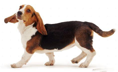basset hound basset hound puppies pictures diet facts habitat behavior animals adda