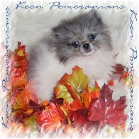 free pomeranian puppies in alabama keen pomeranians pomeranian breeder in huntsville alabama
