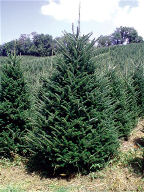 christmas trees wholesale north carolina nc christmas