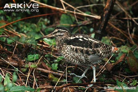 what is snipe in woodworking wood snipe photos and facts gallinago nemoricola