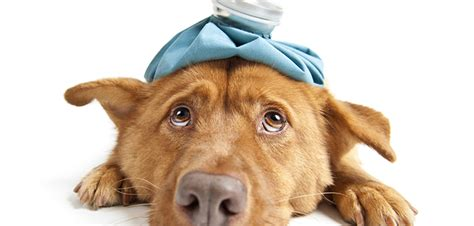 hives on dogs how to treat and identify hives on dogs don t let your pooch suffer