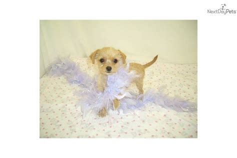yorkie poo for sale philippines teacup puppies manila breeds picture