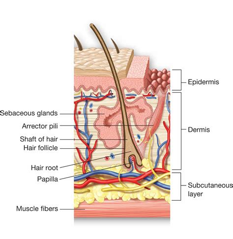 cross section of hair follicle cross section of skin and a hair follicle note the shaft