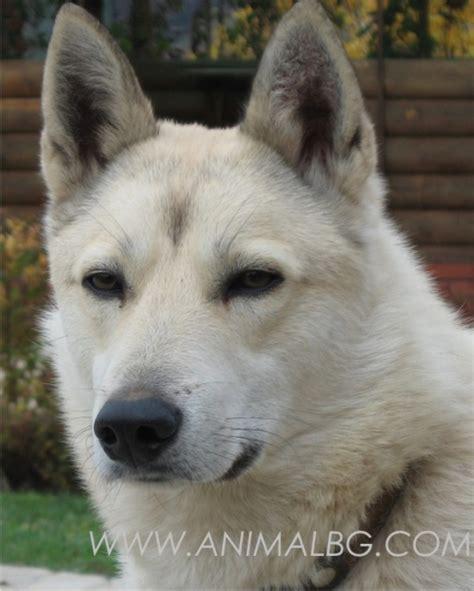 kuche laika продавам кучета лайка варна цена договаряне лайка
