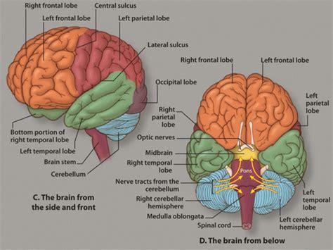 3d brain diagram human brain 3d image labeled anatomical model of the brain