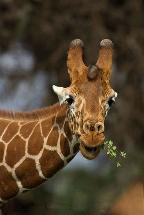 the giraffe that ate evil giraffe quot i m going to eat all the leaves whaa ha ha quot as per eddie izzard o