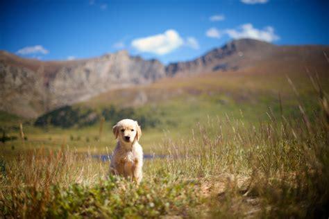 golden retriever puppy colorado we dogs our golden retriever puppy colorado