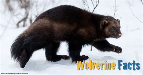wolverine facts  kids  pictures information video