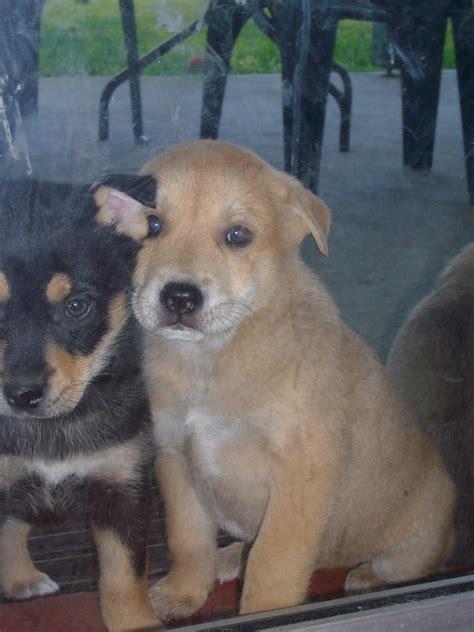 american husky puppy for sale american staffy husky puppies