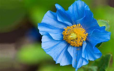 wallpaper of blue flowers blue flower wallpapers blue flower stock photos