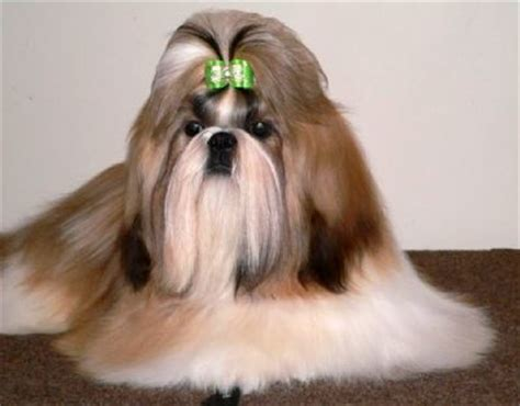 animal planet dogs 101 shih tzu shih tzus a guide to dogs and puppies of the shih tzu breed design bild