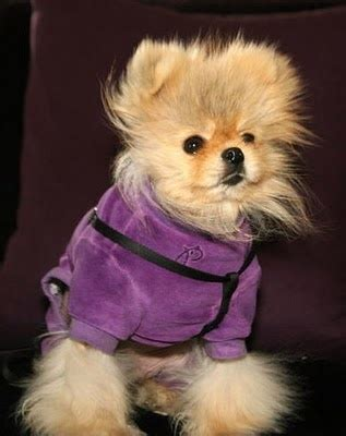 famous people who own yorkie poms 82 best images about famous people on pinterest
