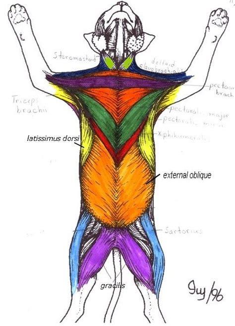 cat neck muscles diagram muscles 5 cat anatomy diagram cat muscles