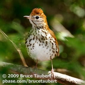 migration pattern of wood thrush the wood thrush and eastern forests birdnote