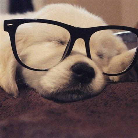 mane for golden retriever best 25 golden retriever puppies ideas on