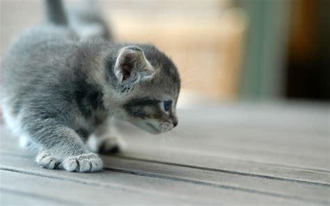 cat ka wallpaper cute kitten kittens wallpaper 12929367 fanpop
