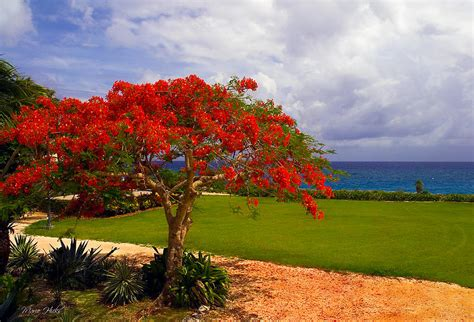 poinsiana tree decorations flamboyant tree in grand cayman photograph by hicks