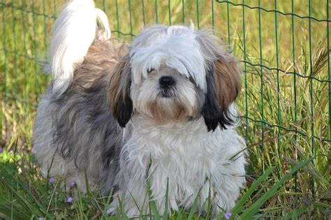 shih tzu liver disease skin and liver disease in shih tzu dogs veterinary bytes