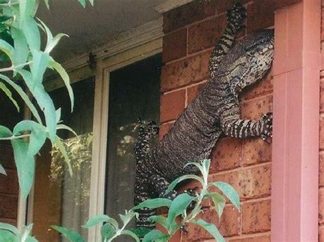 lucertole in casa australia la lucertola di 1 5 metri sul muro di casa