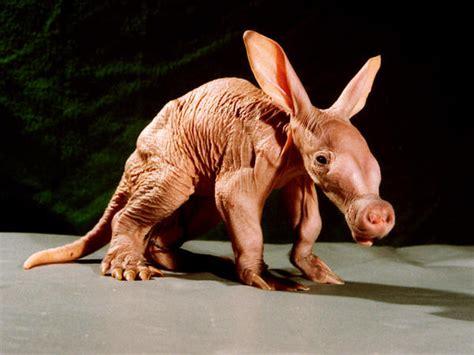 imagenes de animales raros y feos los animales m 225 s raros en fotos quo