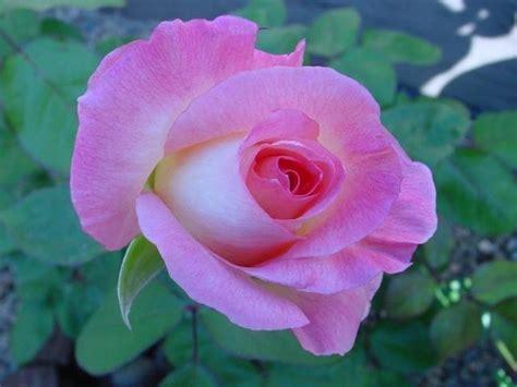 princess diana rose plantfiles pictures hybrid tea rose diana princess of