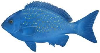 bluefish girella cyanea nsw department primary industries