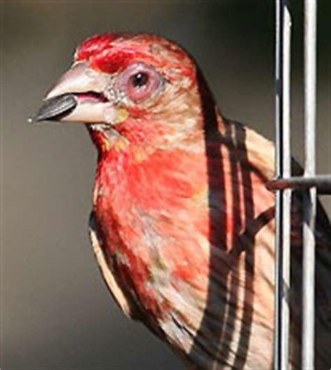 house finch eye disease research surprise many birds exposed to eye disease but only finches get sick all