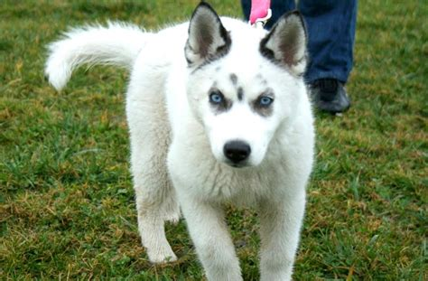 husky wolf mix puppies husky wolf mix on wolf hybrid puppies husky and wolf dogs