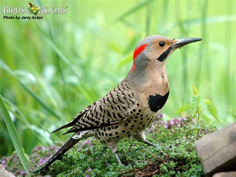 northern flicker birds of wisconsin pinterest photos