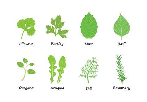 vector free herbs vector free vector stock graphics