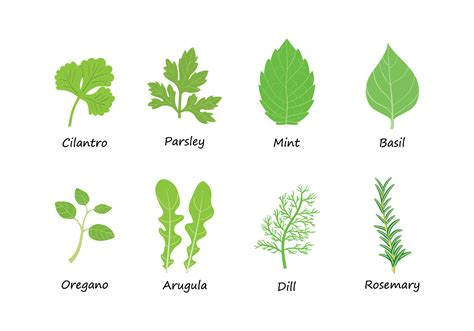 Herbs Vector - Download Free Vector Art, Stock Graphics ... Mint Leaves Wallpaper