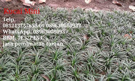 jual rumput kucai mini murah tanaman hias pengganti rumput