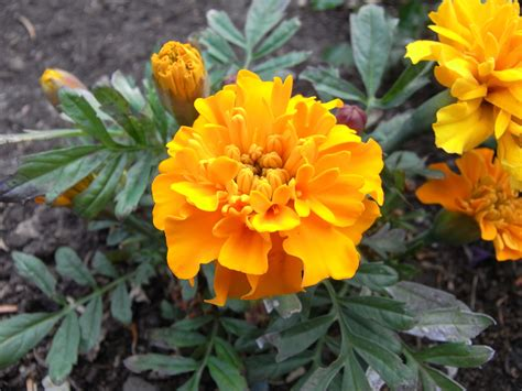 marigolds shade outstanding annuals marigolds rainyleaf