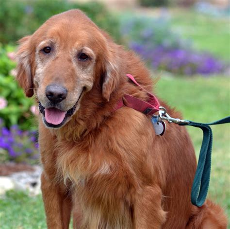 golden retriever rescue nashville companion golden retriever rescue breeds picture