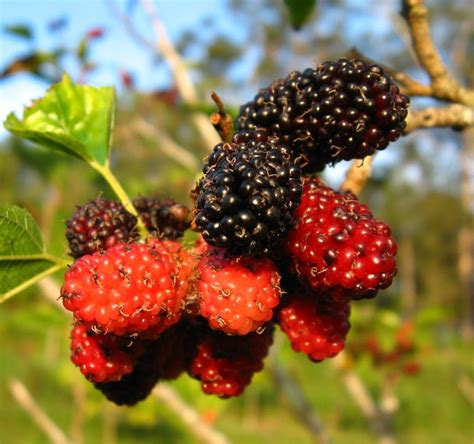 mulberry tree no fruit black mulberry mulberrybayswater black 点力图库