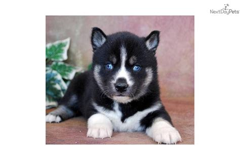 miniature siberian husky puppies for sale breed profile mini husky pictures mini husky puppies for sale breeds picture
