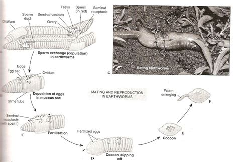 diagram of reproduction in earthworm images how to guide
