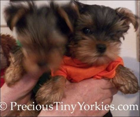 yorkie puppy care guide tiny pocketbook yorkie puppies terrier pocket book puppy
