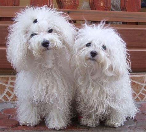 bolognese puppy bolognese puppy bolognese