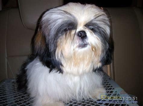 Pajangan Anjing Shin Tzu dunia anjing jual anjing shih tzu jual aning shih tzu