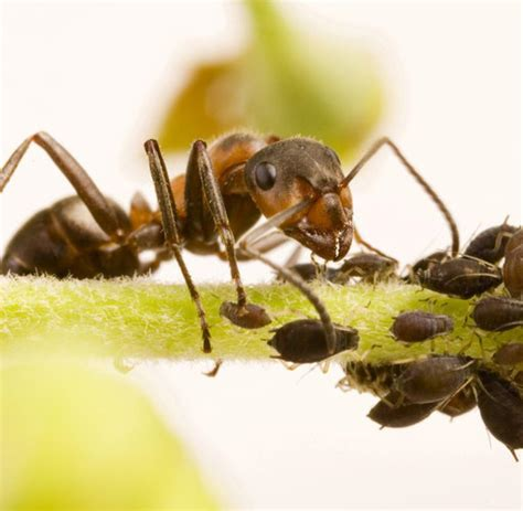 Ameisen Vernichten Im Garten 4814 by Ameisen Im Garten Vernichten Ameisen Vernichten With