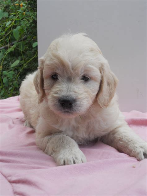 mini goldendoodles massachusetts our mini goldendoodles about farm updated 3 29 18
